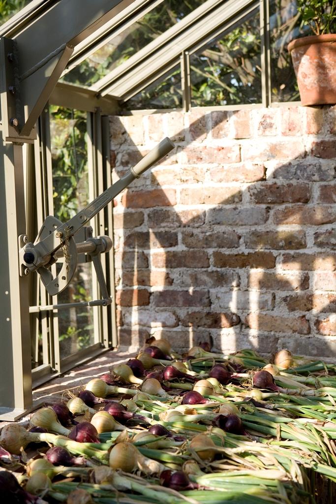 Zwiebeln trocknen im Gewächshaus.