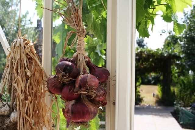 Gute Idee: Zwiebeln & Knoblauch im Gewächshaus zum Trocknen aufhängen.