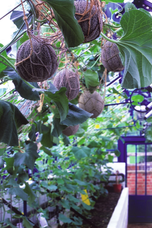Hier hängt der Gewächshaushimmel voller Melonenkörbe.