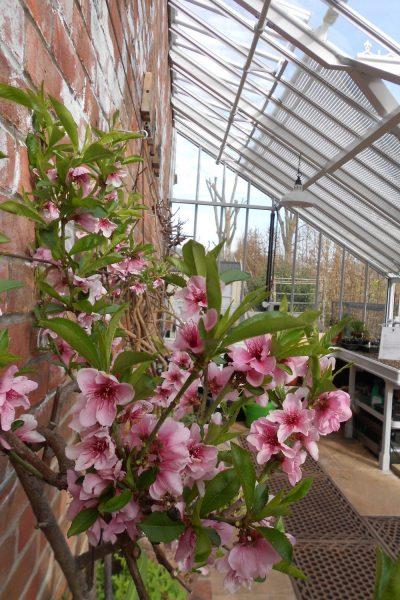 Nektarinenblüte im Anlehngewächshaus