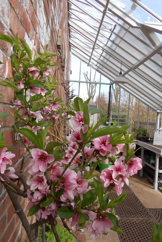 Nektarinenblüte im Anlehngewächshaus.