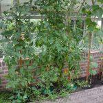 Tomaten & Paprika wachsen im Bodenbeet.