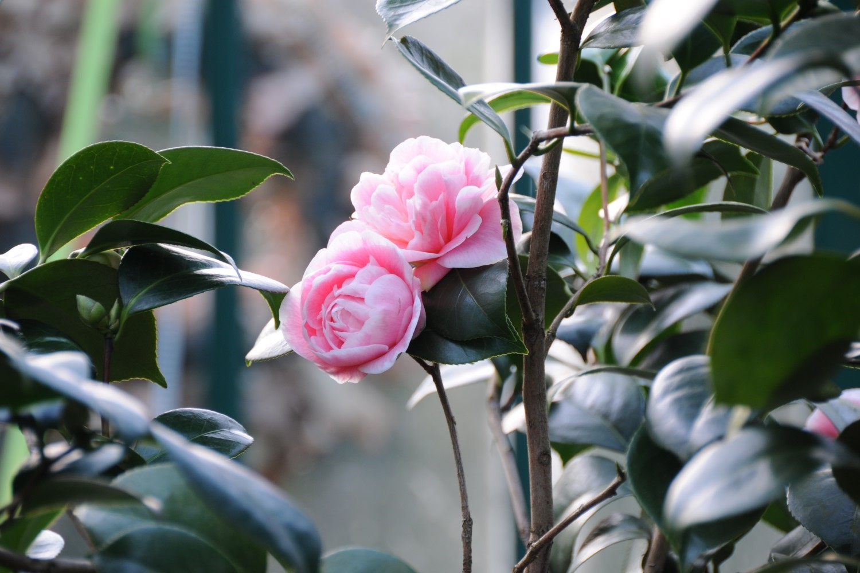 Kamelien, die Rose des Winters, im Alitex Gewächshaus