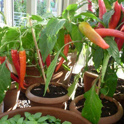 Mit Chilis im Gewächshaus Feuer legen