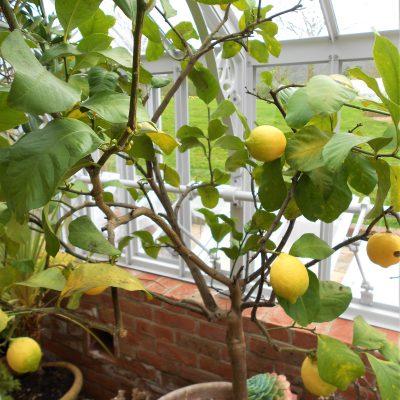 Wie Zitrusfrüchte im Gewächshaus überwintern