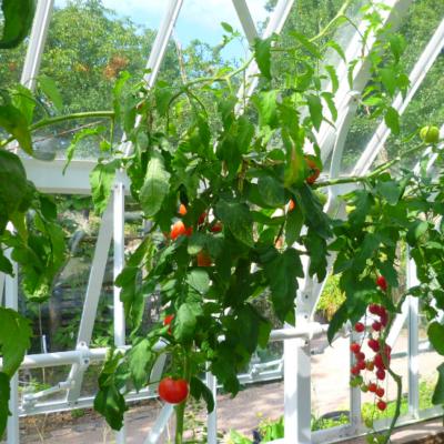 Die Top 10 unserer Kunden:  Tomaten-Sorten fürs Gewächshaus